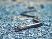 Slow Worm Or Blind Worm (anguis Fragilis) Detail. Slow Worm Lizard Often Mistaken For Snakes. His Fo poster