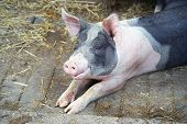 The Pig Lies On The Straw. One Piglet On Hay And Straw At Pig Breeding Farm. Small Black Piggy In Fa poster