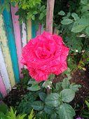 Summer Blooming Rose Botany Gardening Holiday Beauty poster