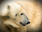 picture of polar bears  - polar bear - JPG