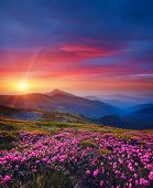 Charming pink flower rhododendrons at magical sunset. Location Carpathian mountain, Ukraine, Europe. poster