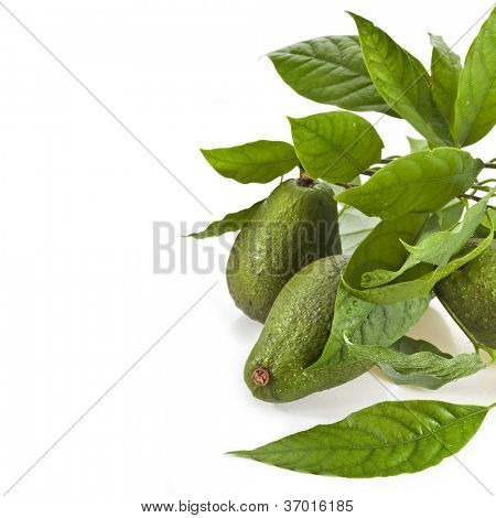 Border of Avocado fruits with young leaves from Avocado tree, isolated on white