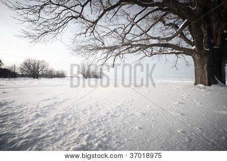 Big oak tree  in a winter snowy field