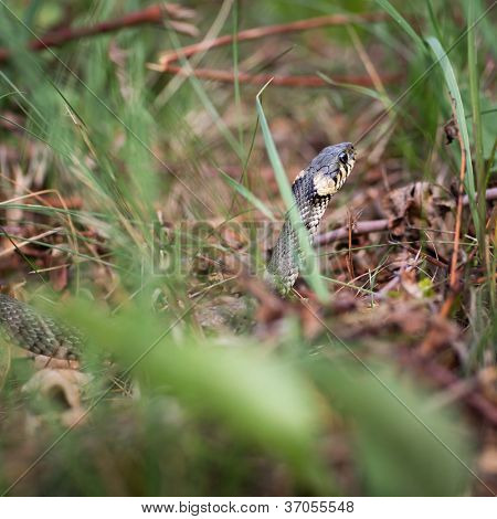 Grass snake (Aka Water snake; Natrix Natrix)