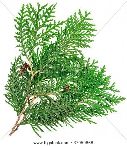 Thuja twig isolated on white, closeup view