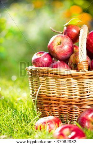 Manzanas orgánicas en una cesta al aire libre. Huerta. Hierba de otoño Garden.Green