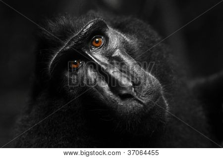 Celebes crested macaque (Macaca nigra) looking to a camera