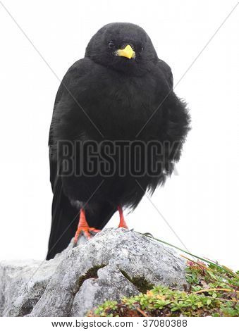 The Alpine Chough or Yellow-billed Chough (Pyrrhocorax graculus) isolated on a white background.
