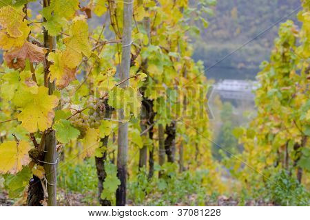 vineyards near Pommern, Rheinland Pfalz, Germany