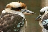 image of blue winged kookaburra  - Australian Kookaburra pair sitting along each other - JPG