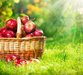 foto of orchard  - Organic Apples in a Basket outdoor - JPG