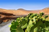 picture of nopal  - Cactus Nopal in Lanzarote Orzola with mountains at Canary Islands - JPG