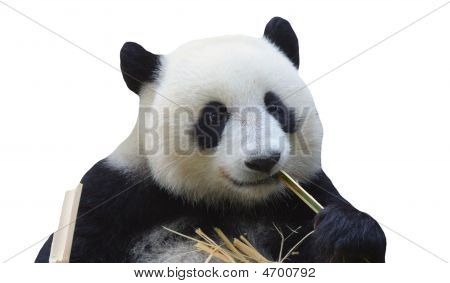 Panda Bear On White Background
