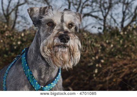 Gray Miniature Schnauzer Outdoors Portrait