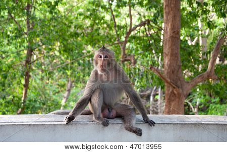 Monkey (macaque Rhesus) Sitting On Wall Cement
