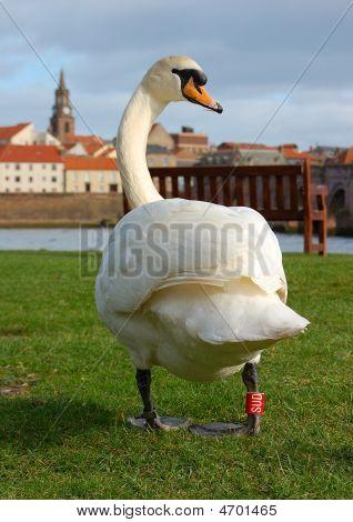 Tweed Swans