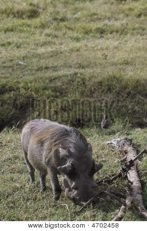 Mature Warthog