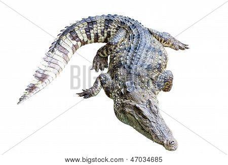 Crocodile Isolate