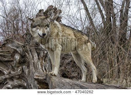 Wolf Standing on Log