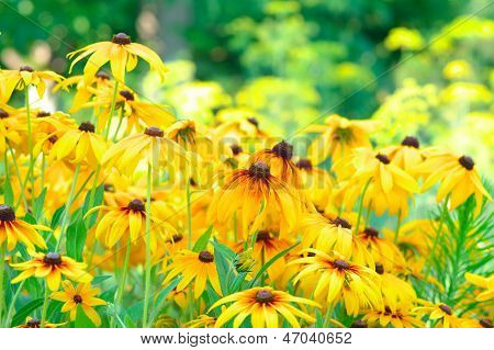 Summer Floral Background Of Rudbeckia Flowers Colorful (asteraceae Family). This Plant Also Called B