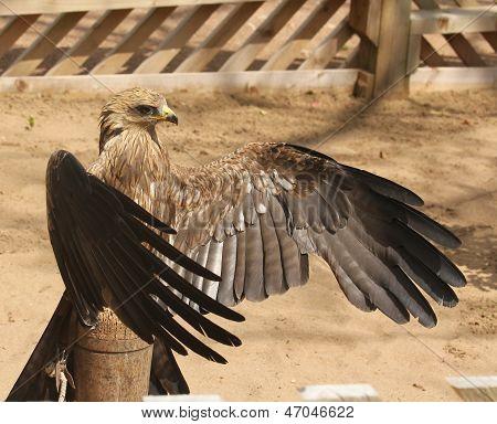 Kite Bird Of Prey