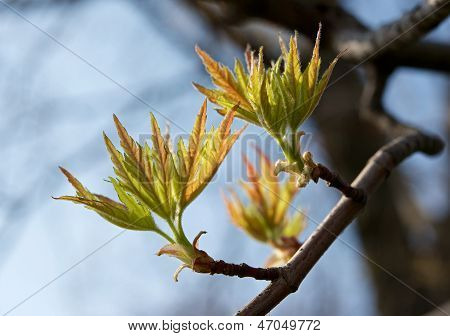 The first spring leaves