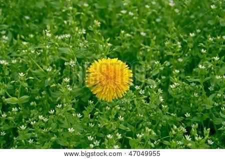 Dandelion On Lawn