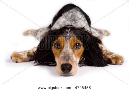 Dog laying down looking at you