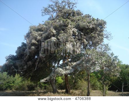 A Spider Tree