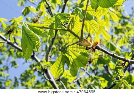Chestnut Branches