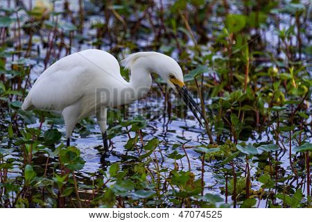 A Sharp Closeup of a Wild Snowy Egret