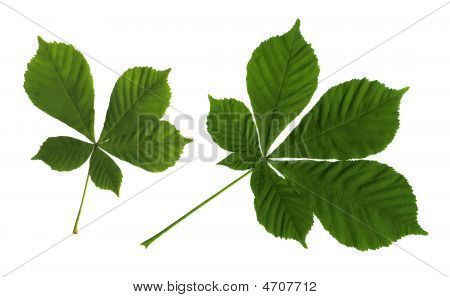 Leaves Of A Chestnut