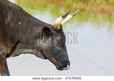A Black Cow Sticking Its Tongue Up Its Nose