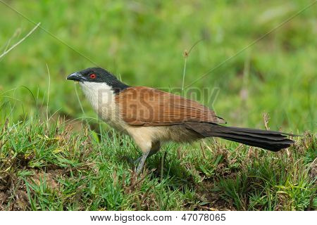A Senegalese Coucal In Porfile