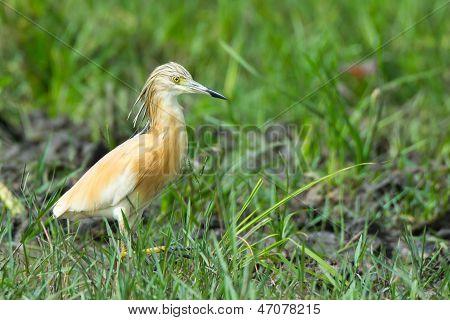A Squacco Heron In Grass