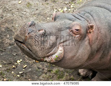 Hippopotamus In Zoo