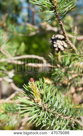 Young And Old Pine Cones