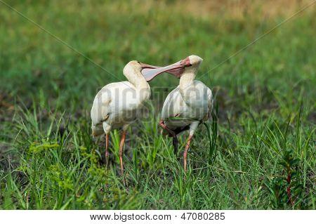 African Spoonbills Mutually Preening