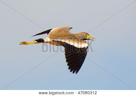 African Wattled Plover In Flight