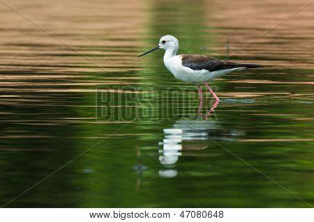 Black-winged Stilt Wading