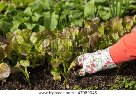 Planting Salad Seedlings