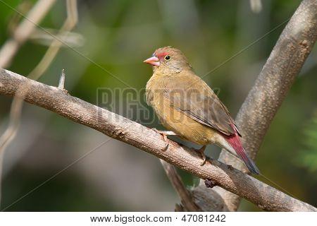 Female Senegal Firefinch