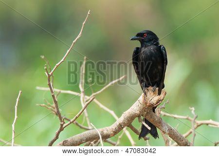 Northern Black Flycatcher Perching