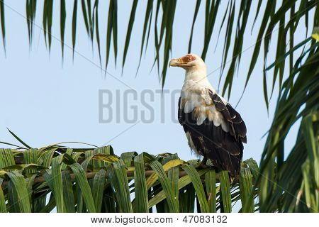 Palm Nut Vulture In Palm Tree