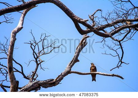 Eagle resting on the branch of the dead tree