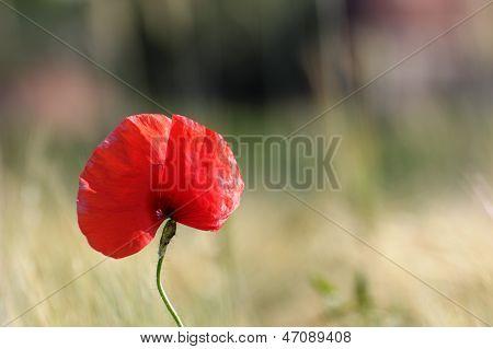 Poppy Growind Near Corn Field
