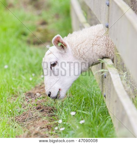Sheep Eating
