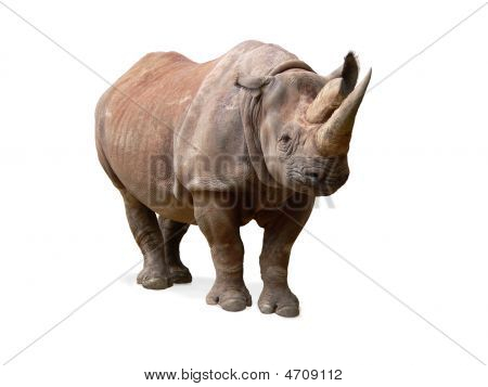 Black Rhinoceros On White Background