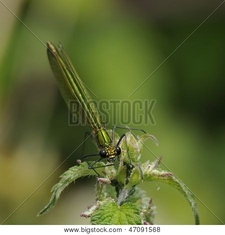Banded Demoiselle female