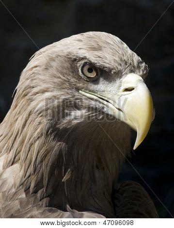 Heavy Eagle